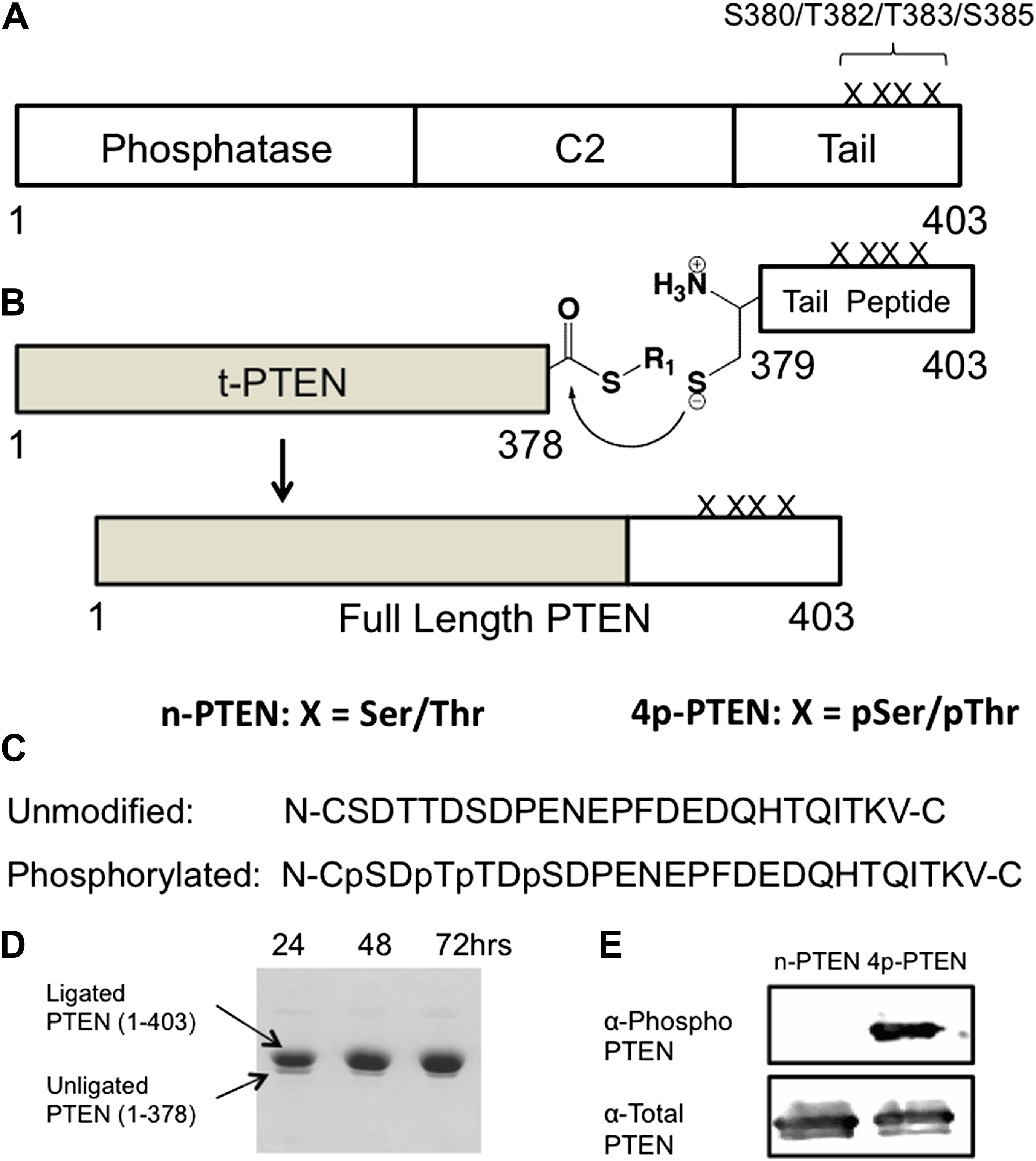 protein semisynthesis and expressed protein ligation The intein splicing and epl have been already proven to be useful for protein semisynthesis and for various expressed protein ligation (epl.