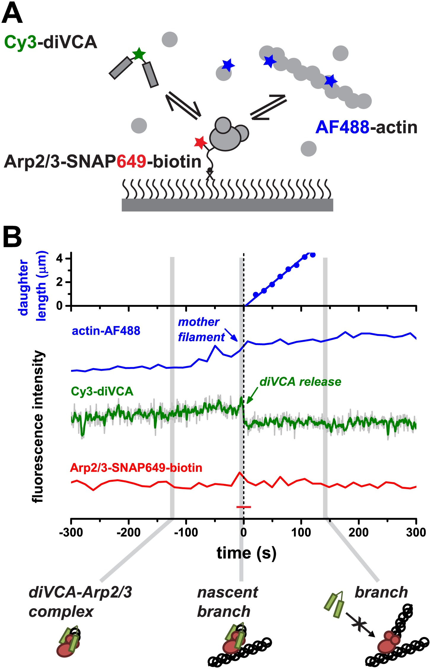 Three Color Single Molecule Imaging Shows Wasp Detachment From Arp2 Utilizing Free Body Diagram Of Each Link With All Cheggcom Figure 3