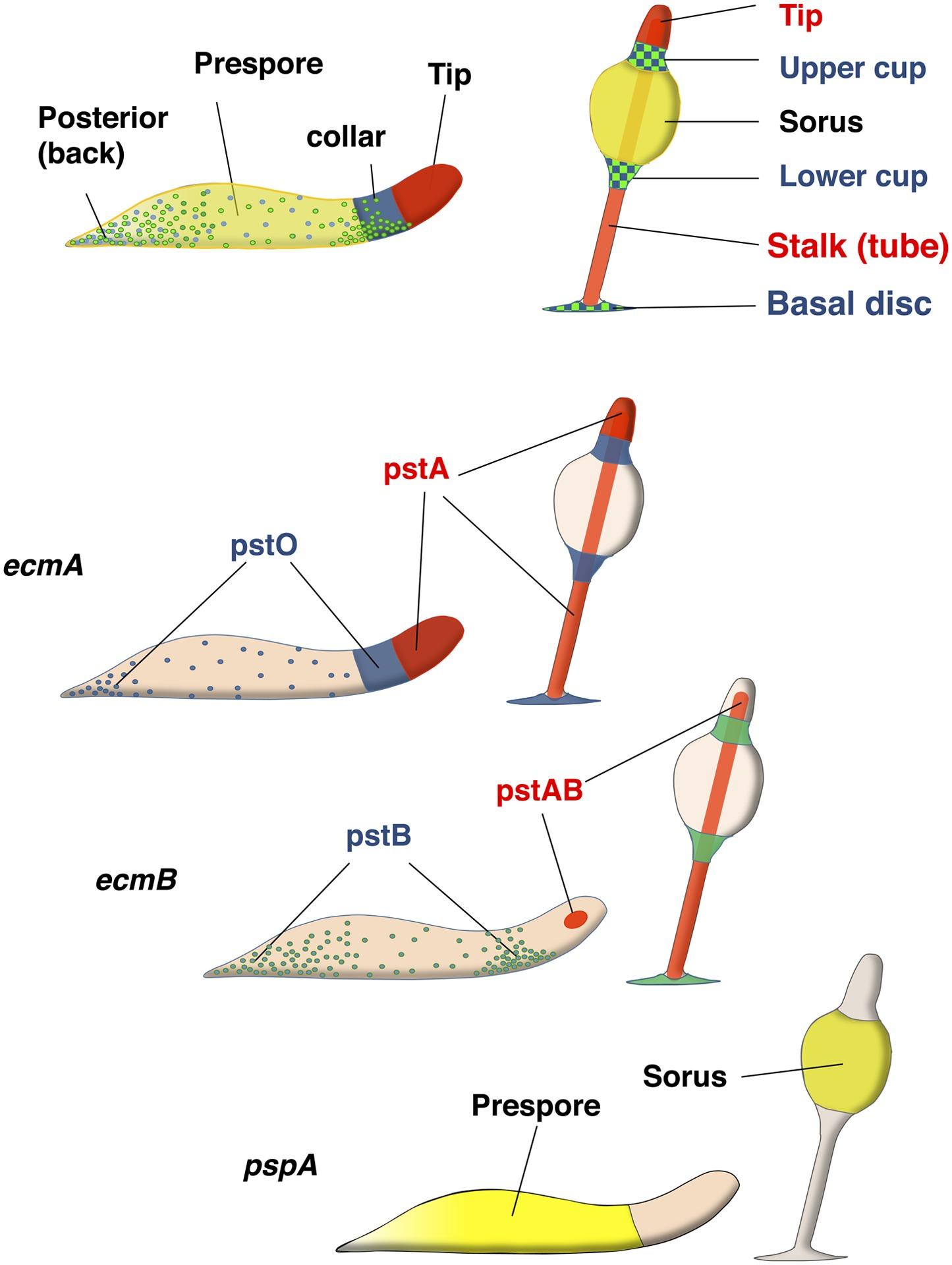 Developmental lineage priming in Dictyostelium by heterogeneous Ras ...
