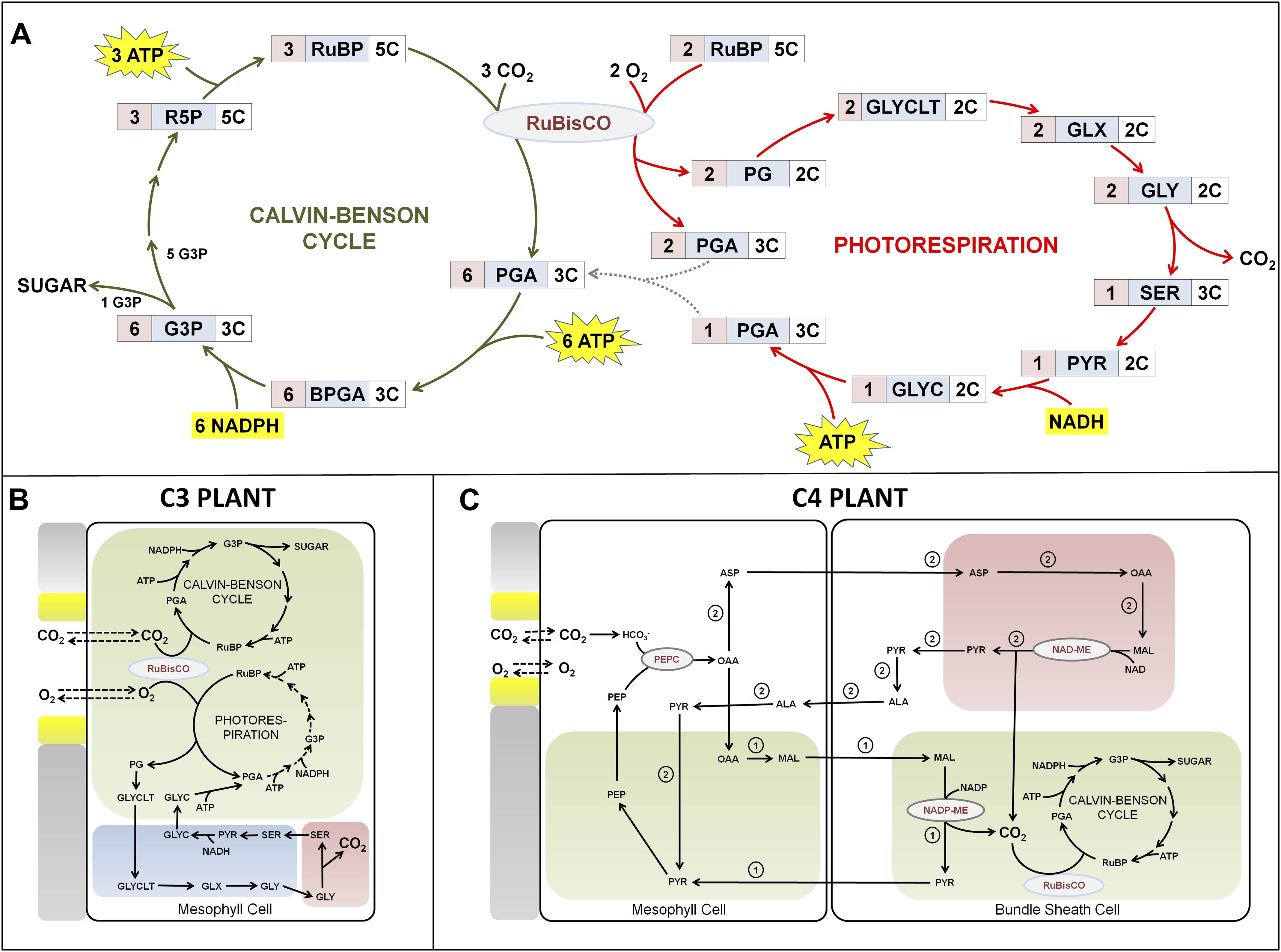 photosynthesis c3 c4 and cam plants Because oxygen acts as a competitive inhibitor for rubisco, photosynthesis in c3   c4 and cam plants uses the enzyme pep carboxylase to combine co2 to a.