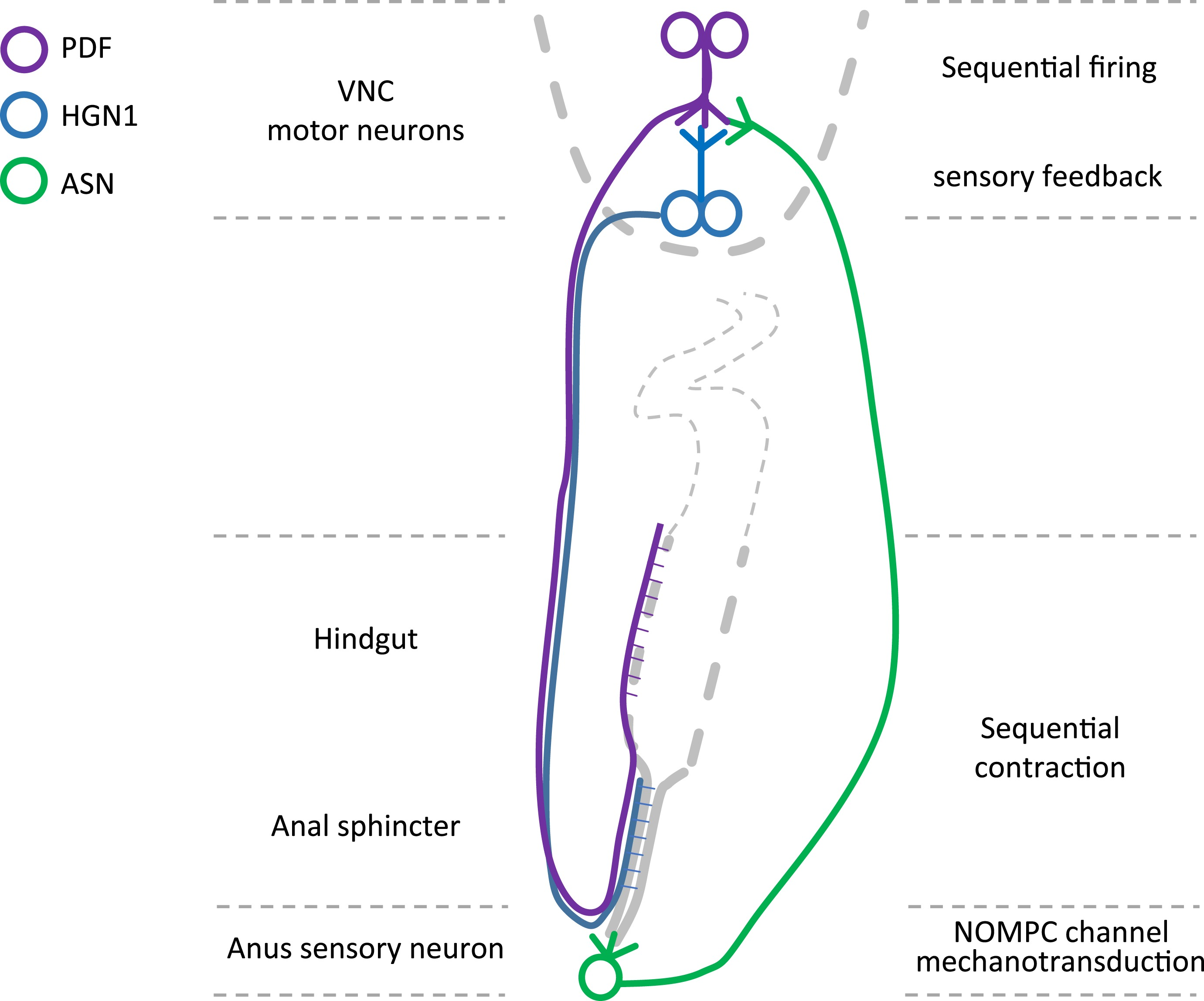 Identification of motor neurons and a mechanosensitive sensory identification of motor neurons and a mechanosensitive sensory neuron in the defecation circuitry of drosophila larvae elife lens ccuart