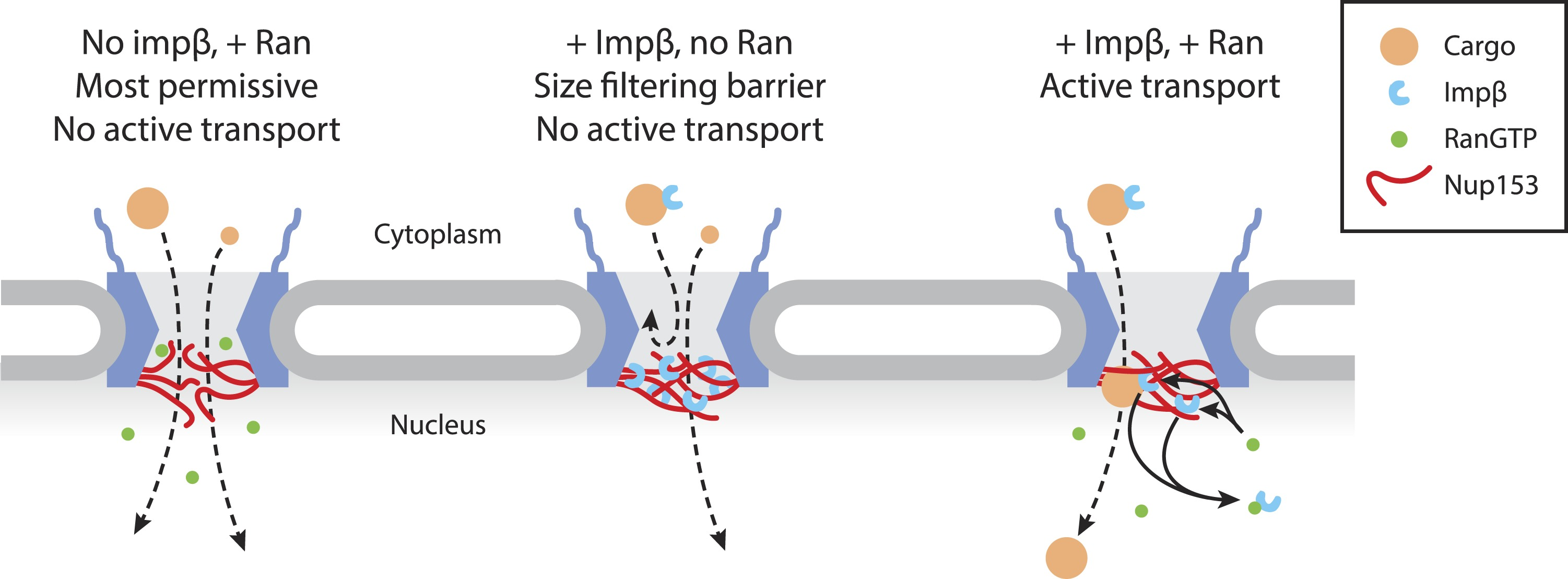 Importin modulates the permeability of the nuclear pore complex model of ran sensitive impnup153 interactions at the nuclear face of the npc pooptronica