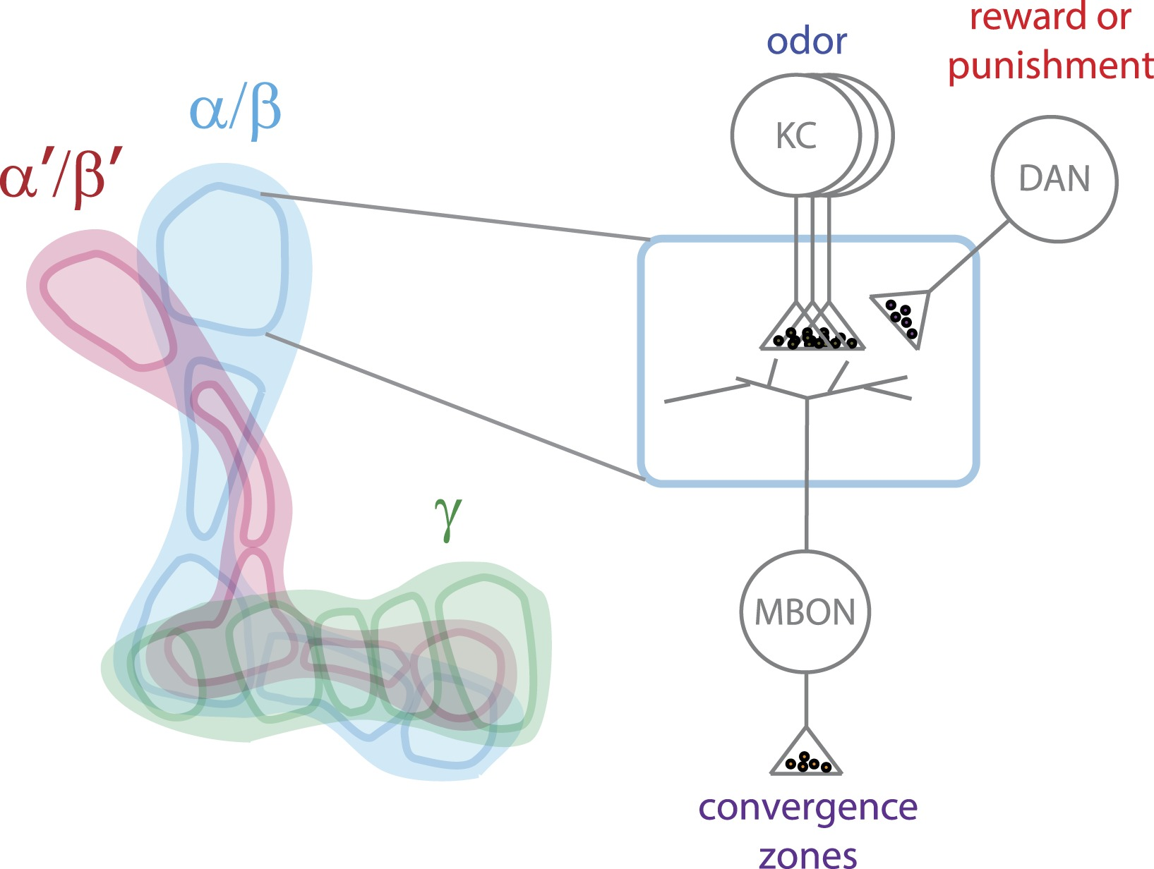 A big picture of a small brain elife lens model of how information is processed in the mushroom body to enable it to alter behavior pooptronica Images