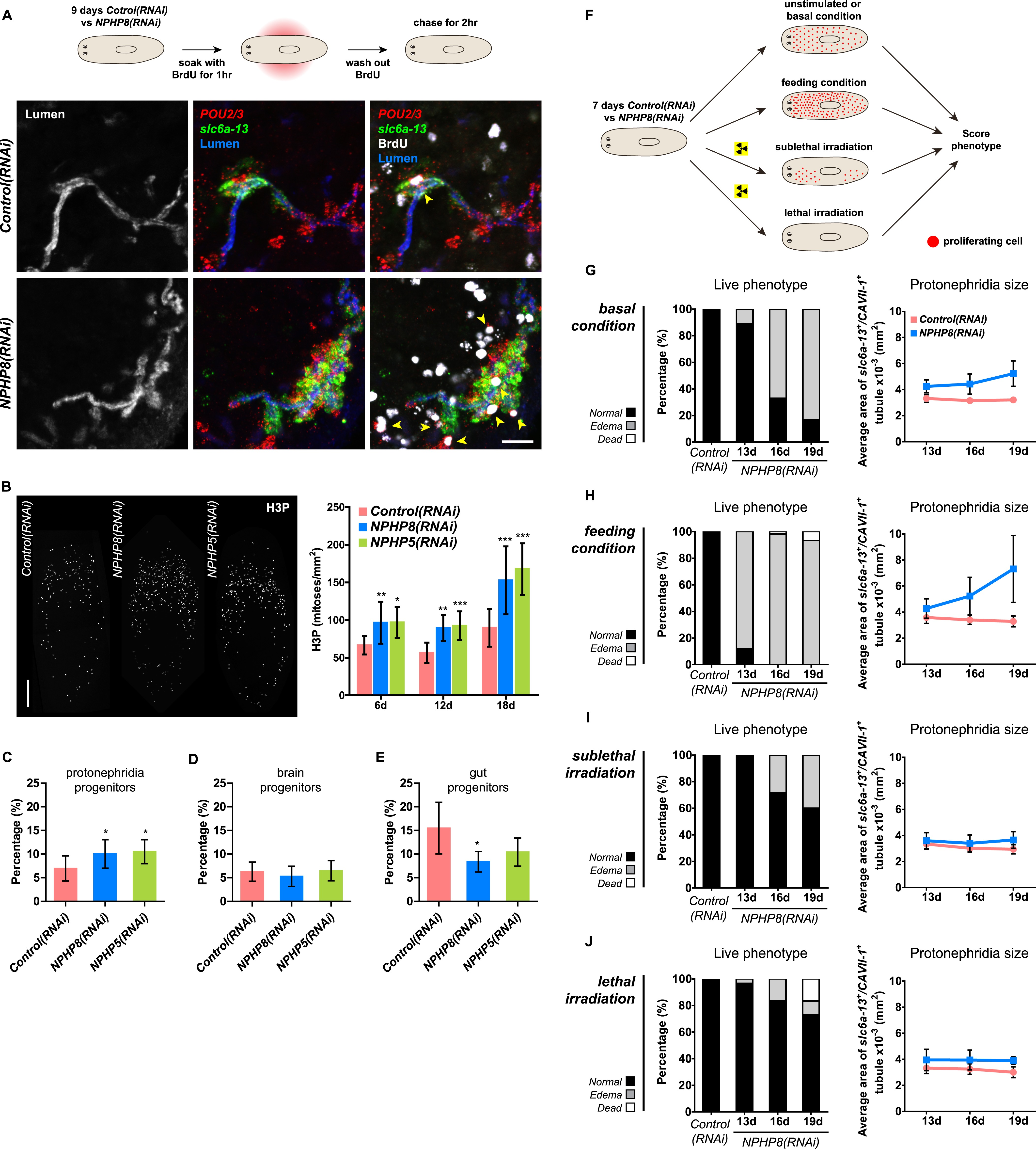 Stem cells and fluid flow drive cyst formation in an invertebrate ...