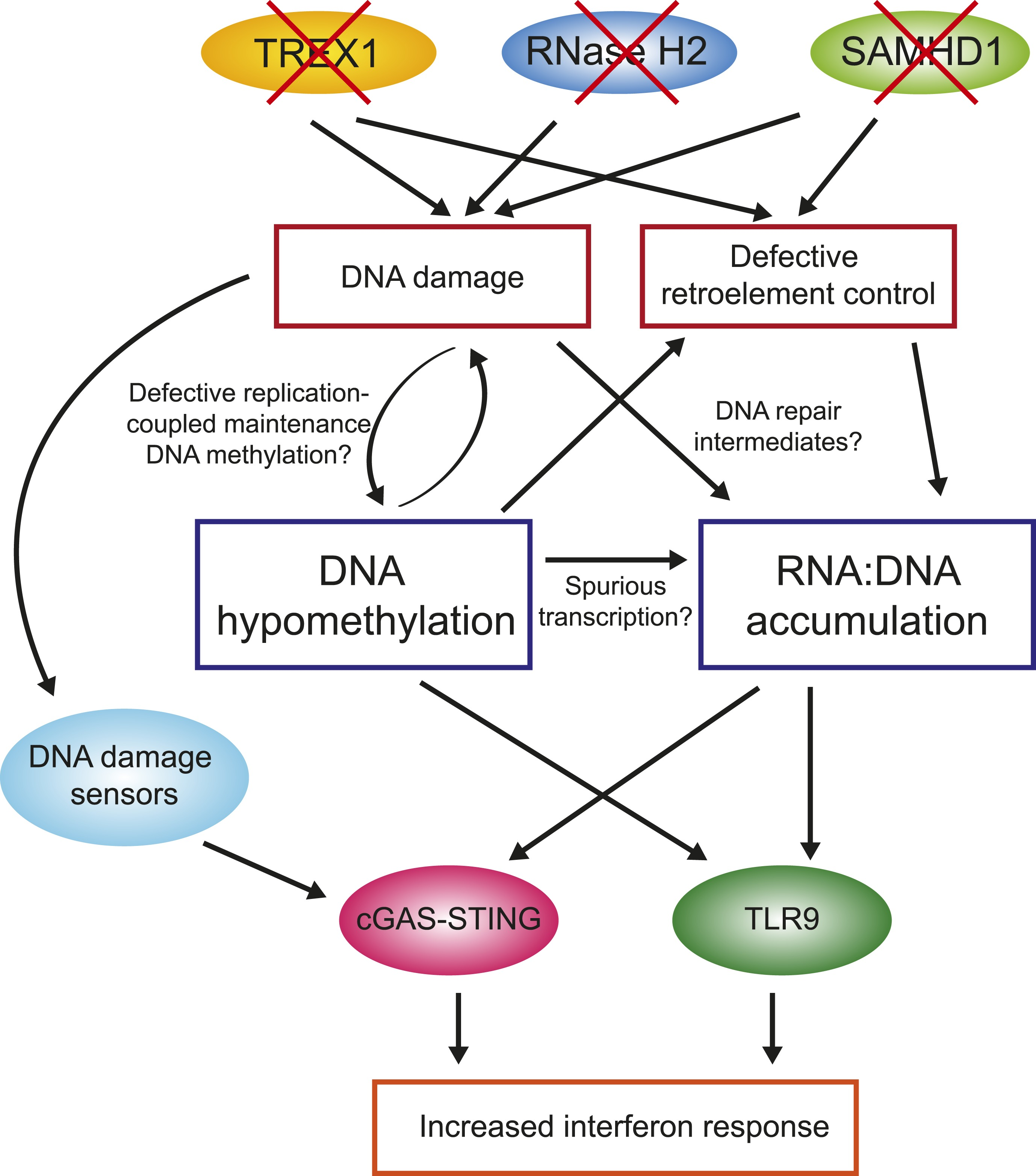Genome-wide DNA hypomethylation and RNA:DNA hybrid accumulation in ...