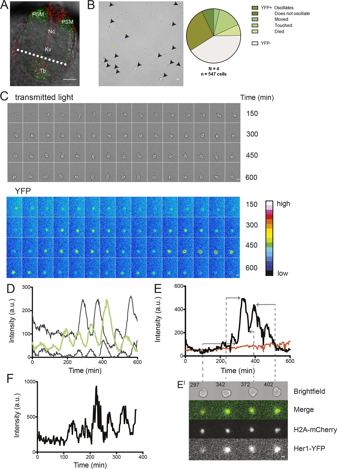 persistence period and precision of autonomous cellular zebrafish segmentation clock cells oscillate autonomously in culture