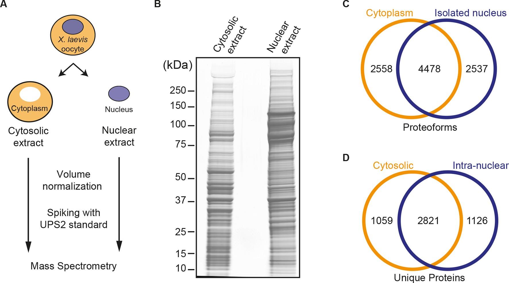 Venn diagram cytokinesis plant animal cells - Spatial Proteomics Of Xenopus Laevis Oocytes
