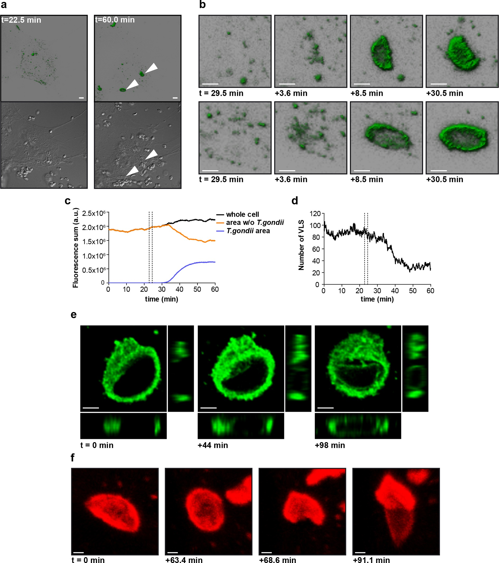 Guanylate binding proteins directly attack Toxoplasma gondii via supramolecular complexes | eLife Lens