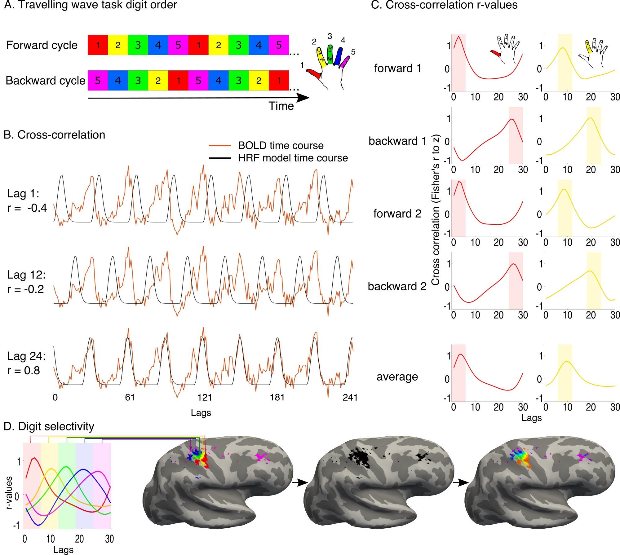 Revealing the neural fingerprints of a missing hand | eLife Lens