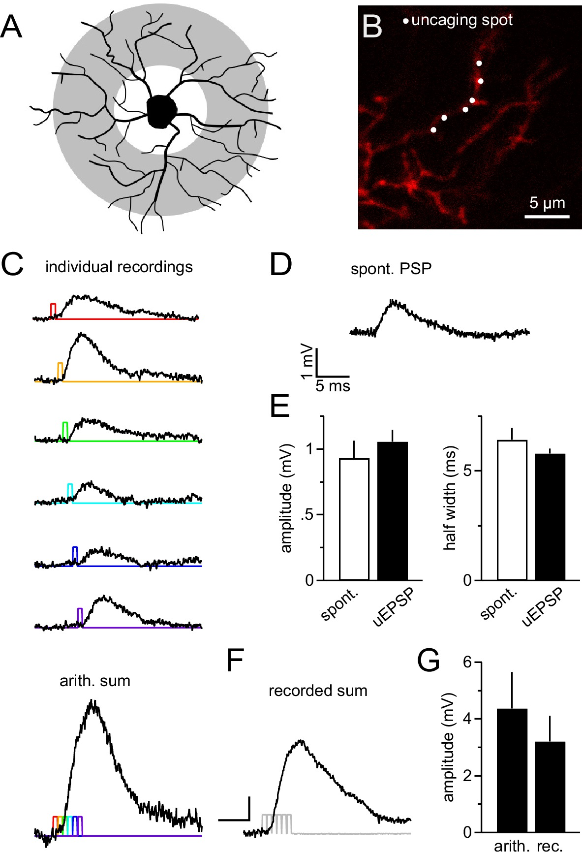 Ng2 Glial Cells Integrate Synaptic Input In Global And Dendritic 6929 Meyers Wiring Diagram Cell Dendrites Are Highly Sensitive To Local 2 Photon Glutamate Uncaging