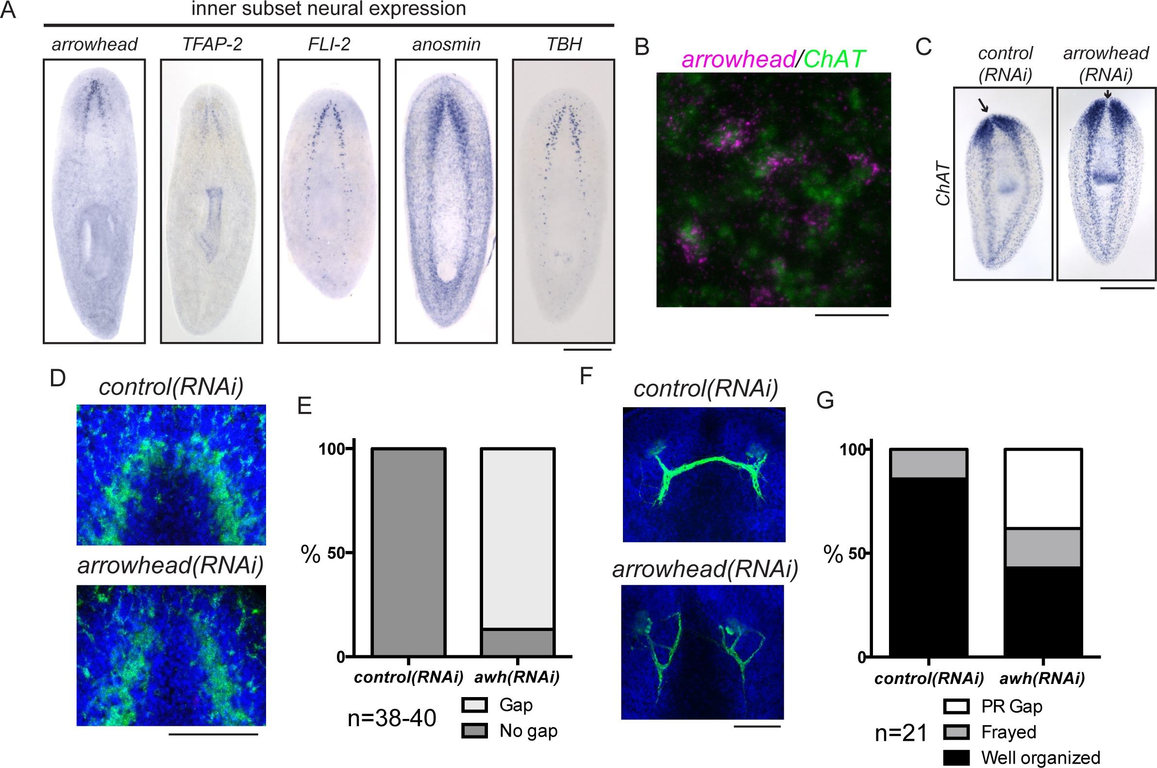 A functional genomics screen in planarians reveals regulators of ...
