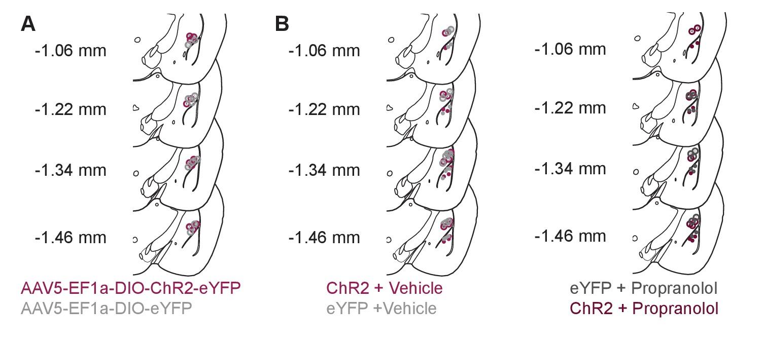 Locus coeruleus to basolateral amygdala noradrenergic projections ...