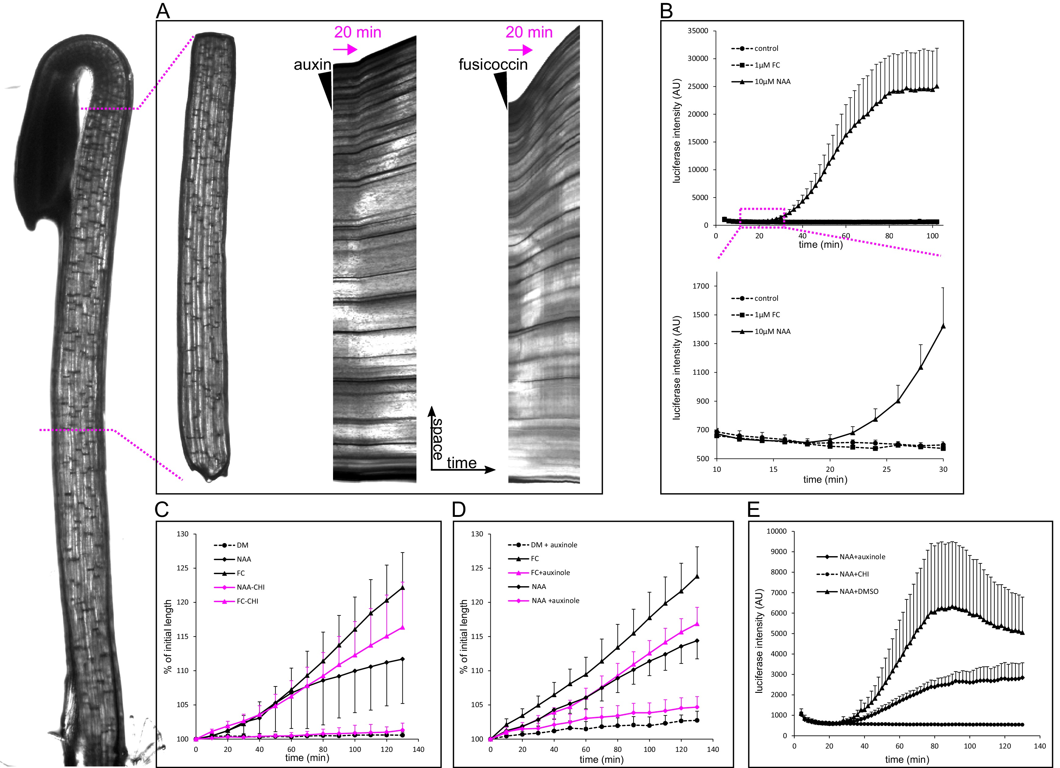 TIR1/AFB-Aux/IAA auxin perception mediates rapid cell wall