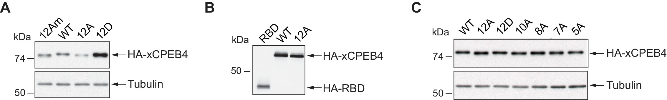 CPEB4 is regulated during cell cycle by ERK2/Cdk1-mediated