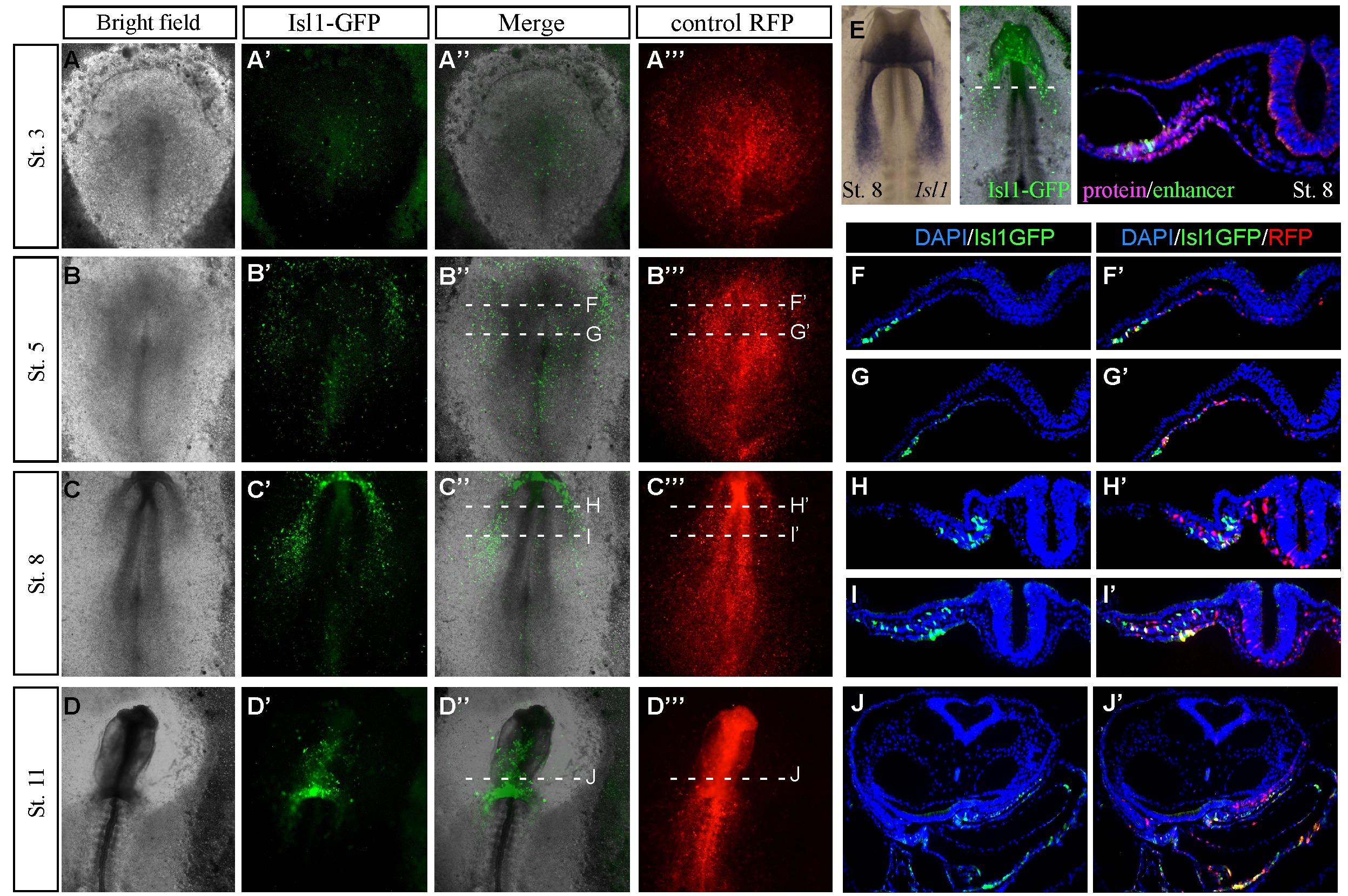 Nkx2 5 marks angioblasts that contribute to hemogenic