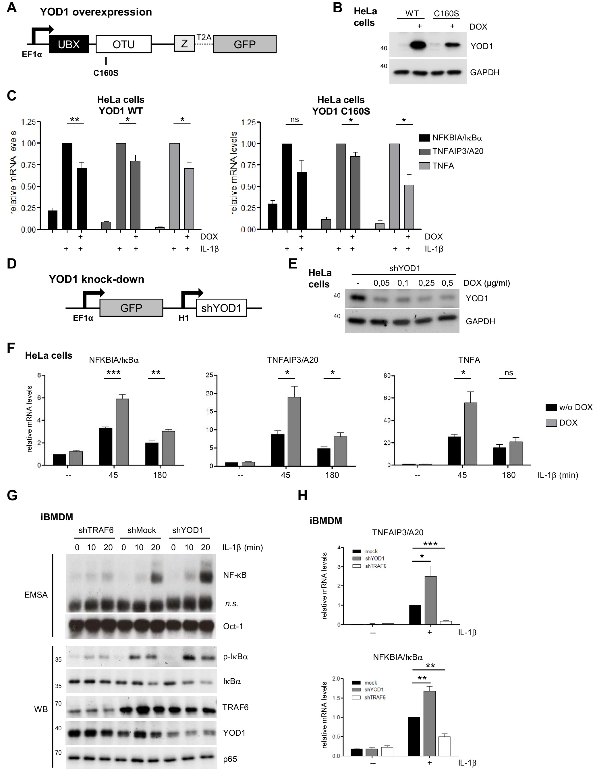 YOD1/TRAF6 association balances p62-dependent IL-1 signaling to NF-κB                    The transcription factors TFE3 and TFEB amplify p53 dependent transcriptional programs in response to DNA damage                                      Glucose intake hampers PKA-regulated HSP90 chaperone activity                                      Lipidation-independent vacuolar functions of Atg8 rely on its noncanonical interaction with a vacuole membrane protein
