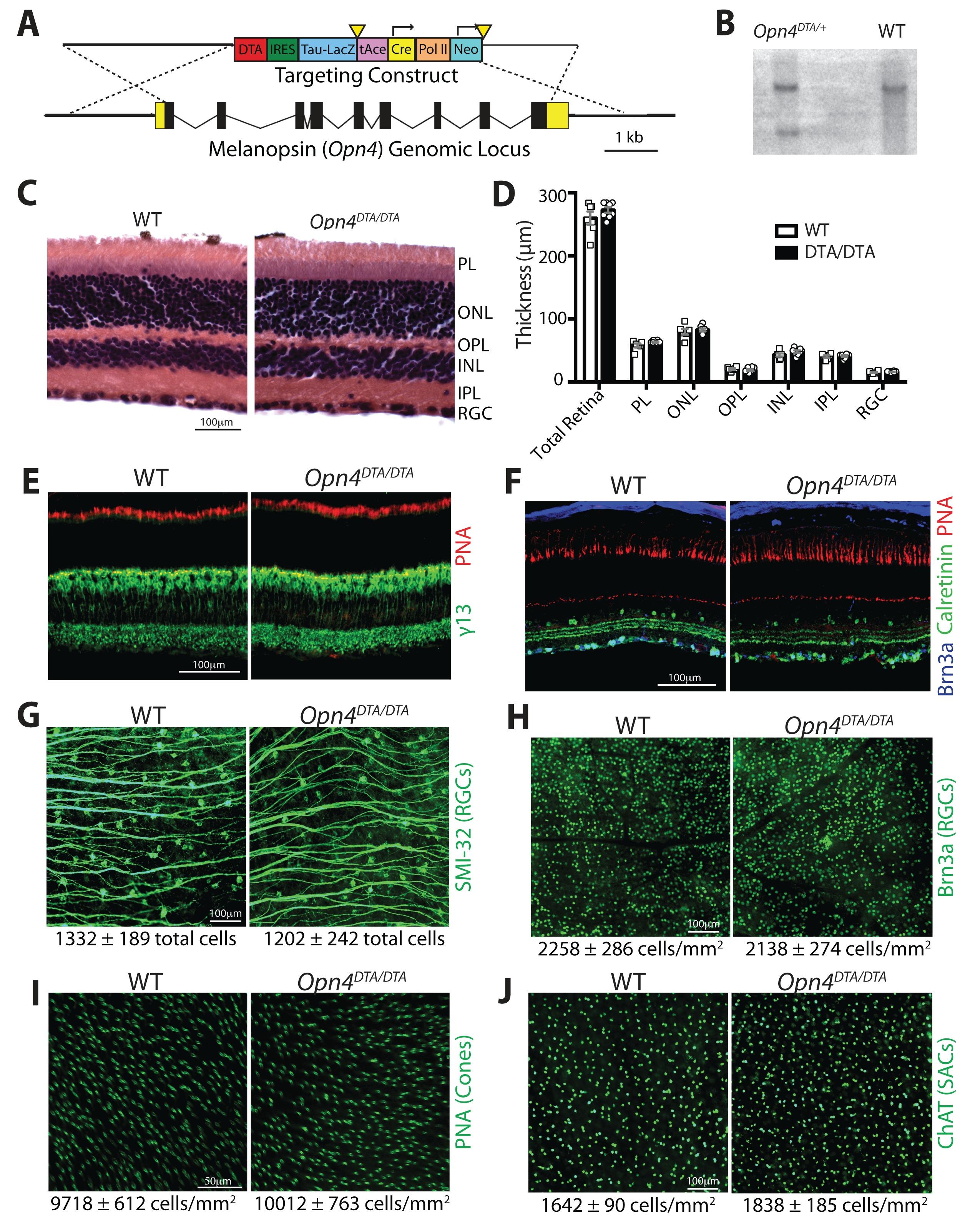 A subset of ipRGCs regulates both maturation of the circadian ...