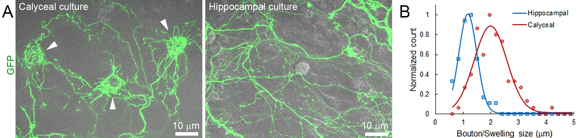 Presynaptic Morphology And Vesicular Composition Determine Vesicle 1998 Neon Msd 6al Wiring Diagram Comparison Of Calyceal Hippocampal Cultures