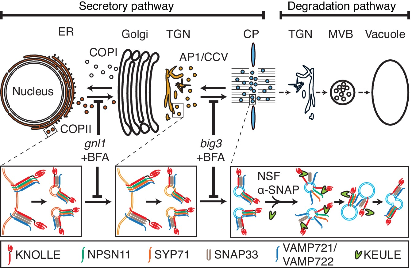 Er assembly of snare complexes mediating formation of partitioning trafficking of cis snare complexes during cytokinesis model pooptronica Gallery