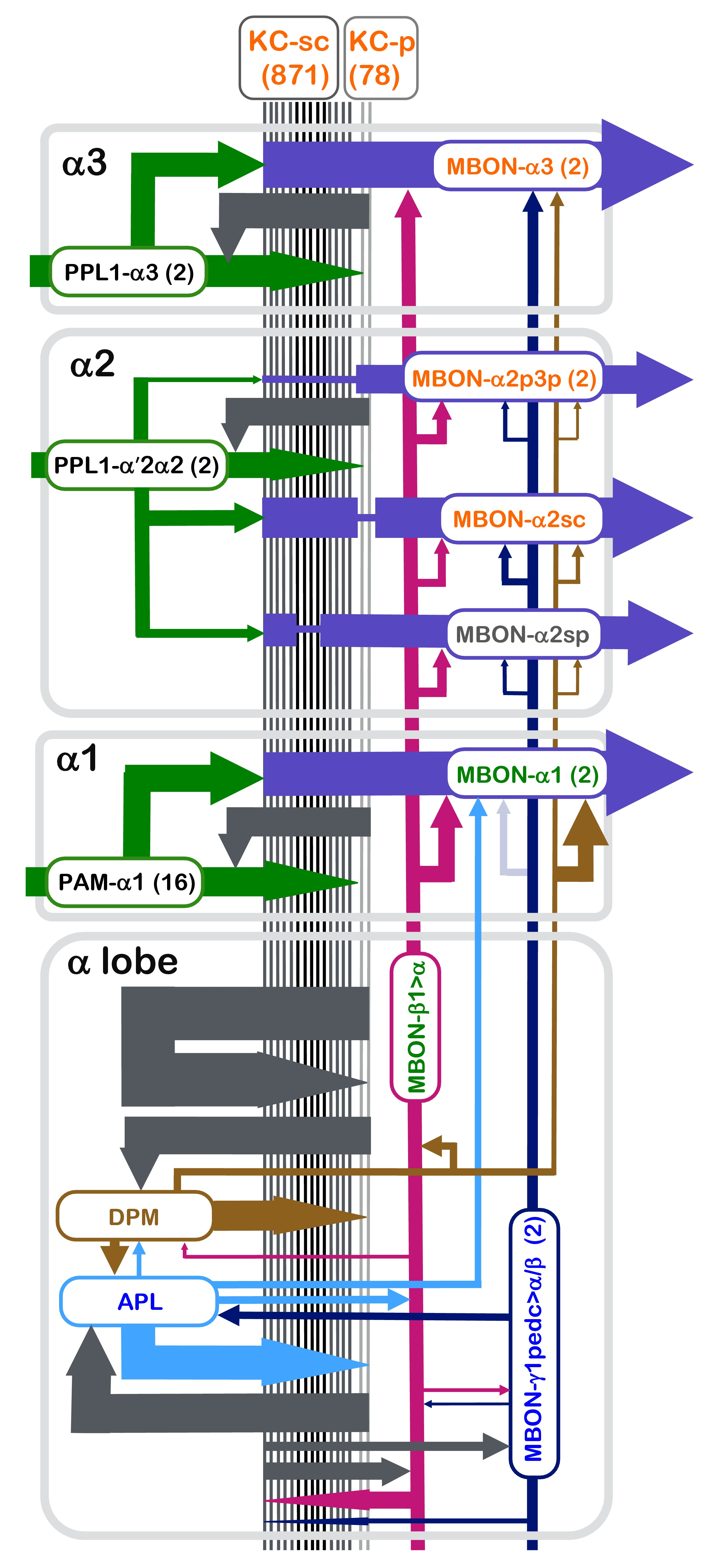 A Connectome Of Learning And Memory Center In The Adult Drosophila Clark 530 Wiring Diagram Summary Reconstruction Lobe