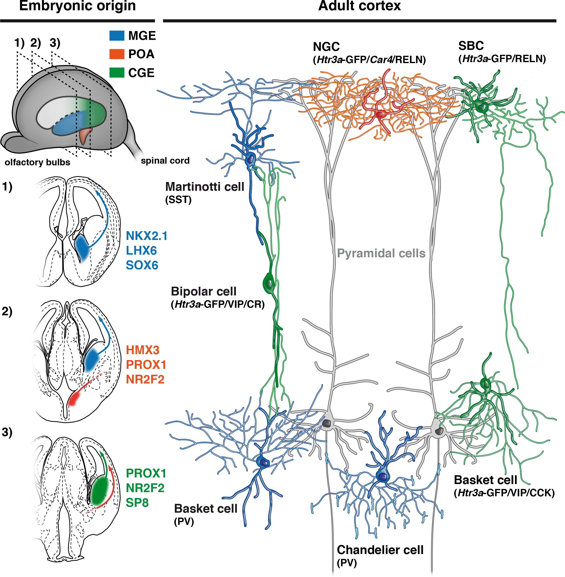 Neurogliaform cortical interneurons derive from cells in the developmental origin of cardinal classes of cortical interneurons aloadofball Choice Image