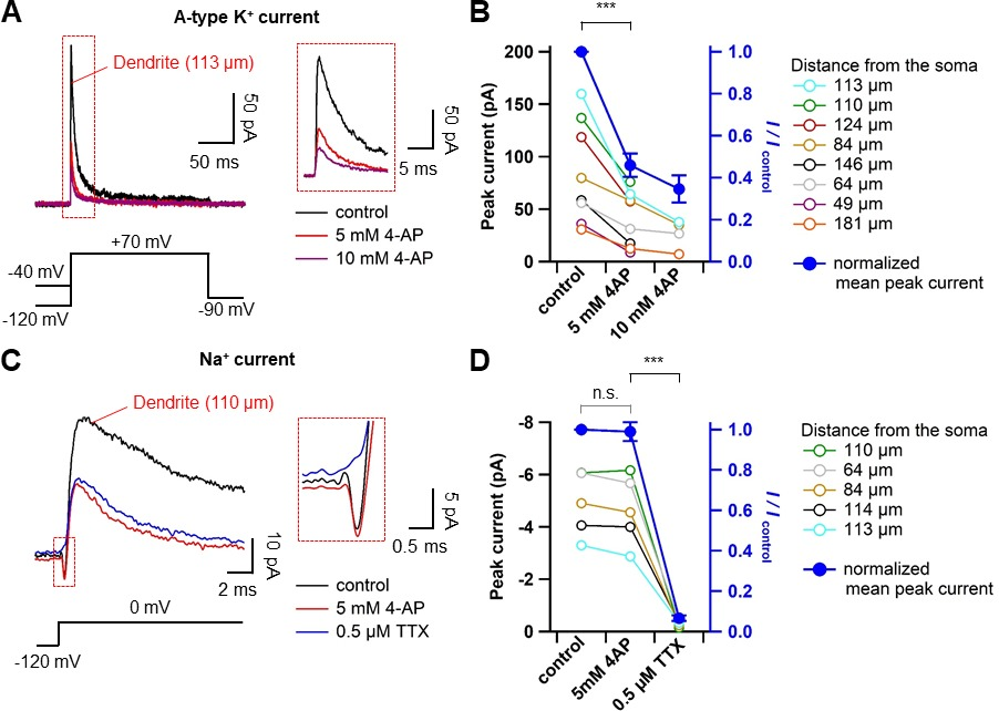 Dendritic spikes in hippocampal granule cells are necessary for long the dose dependent effect of 4 ap on transient outward currents and na currents ccuart Gallery