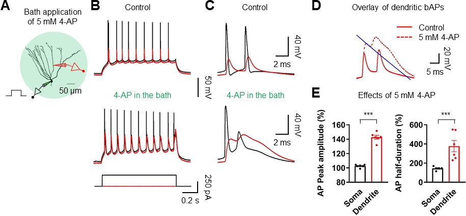 Dendritic spikes in hippocampal granule cells are necessary for long effect of 4 ap on ap backpropagation ccuart Gallery