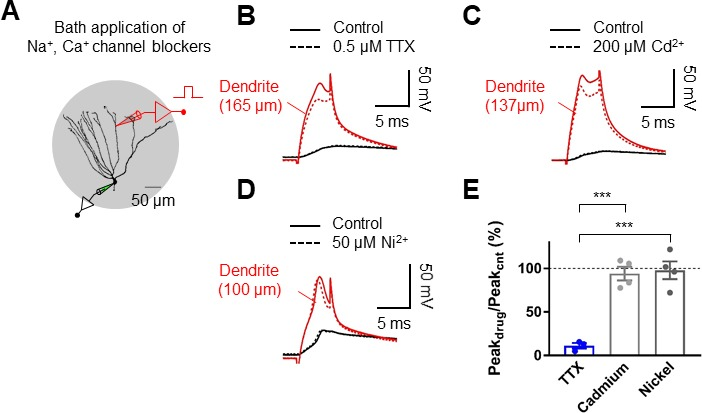 Dendritic spikes in hippocampal granule cells are necessary for long dendritic spikes are mediated by voltage gated na channels ccuart Gallery
