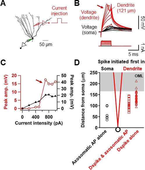Dendritic spikes in hippocampal granule cells are necessary for long initiation of dendritic spikes in gcs ccuart Gallery
