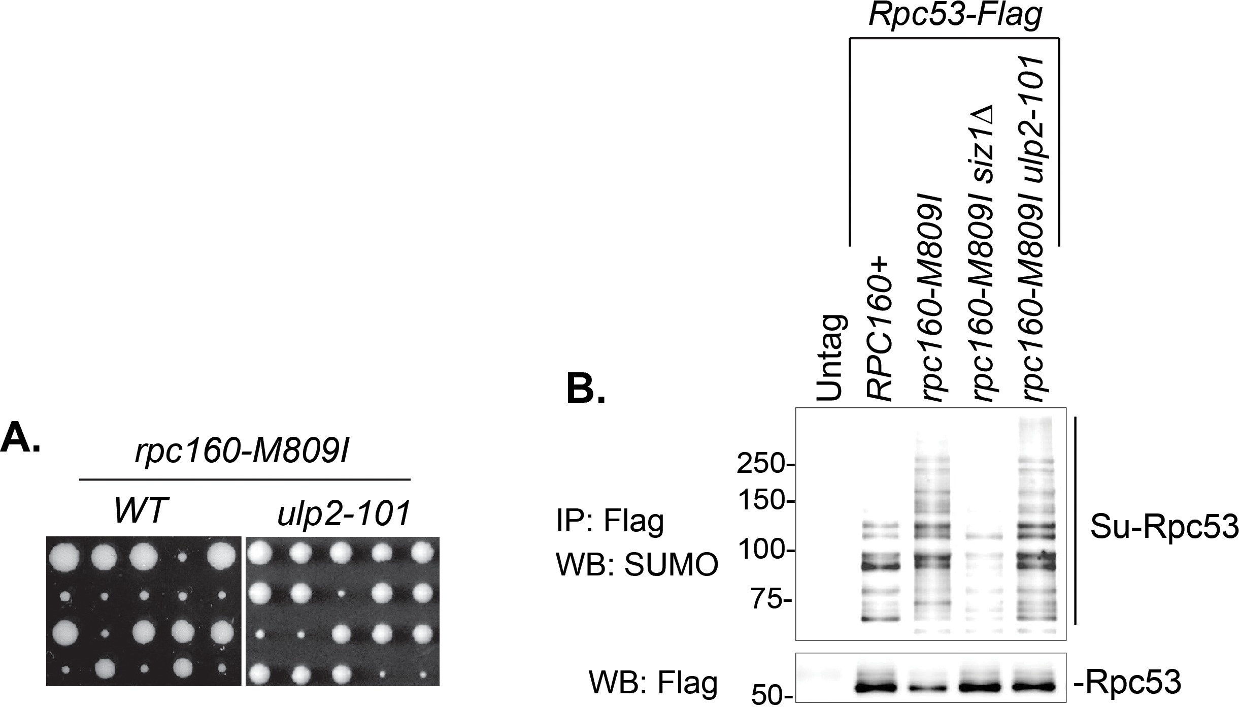 Defective RNA polymerase III is negatively regulated by the SUMO ... 6e310d8160