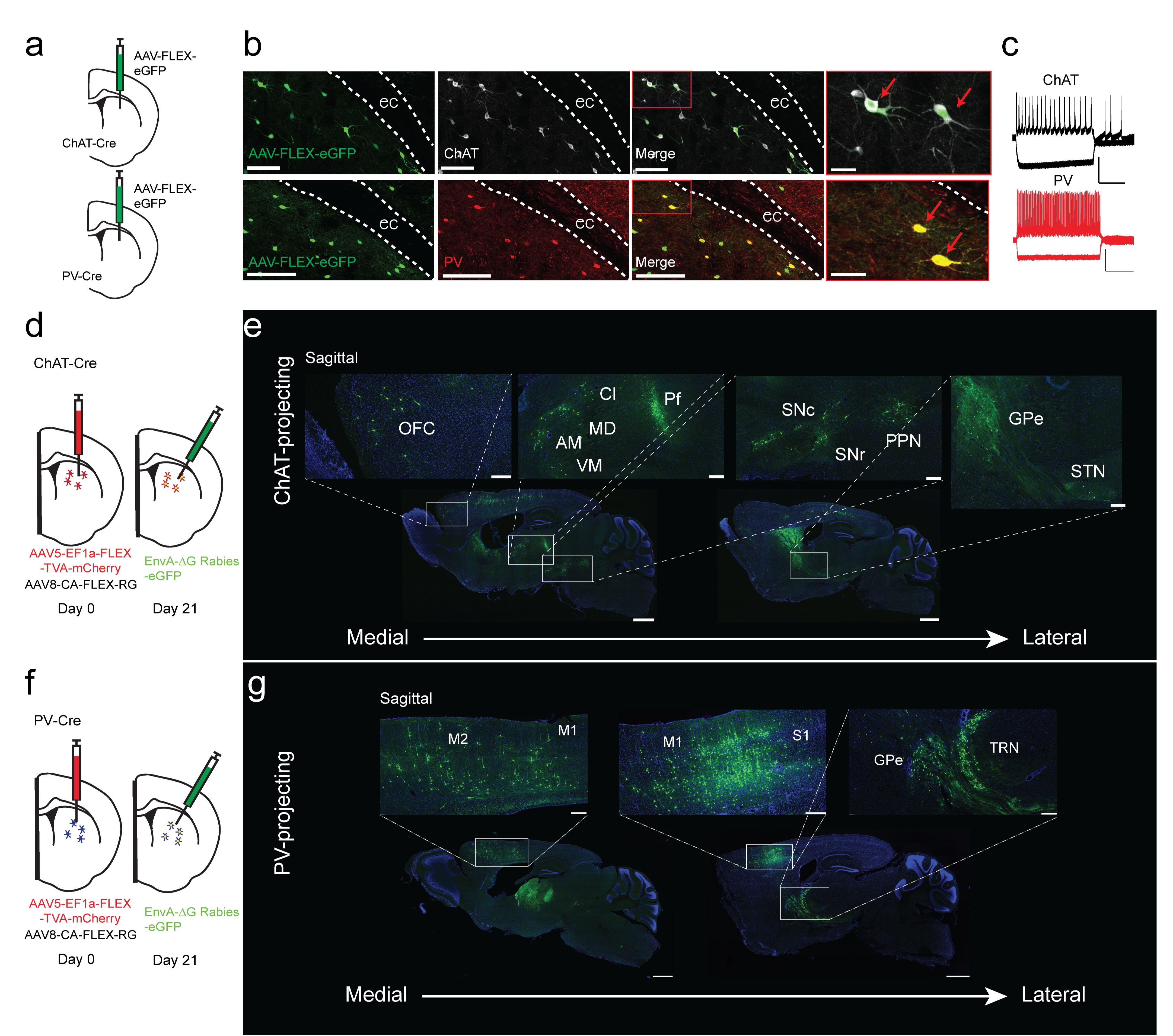 Differential inputs to striatal cholinergic and parvalbumin ... on