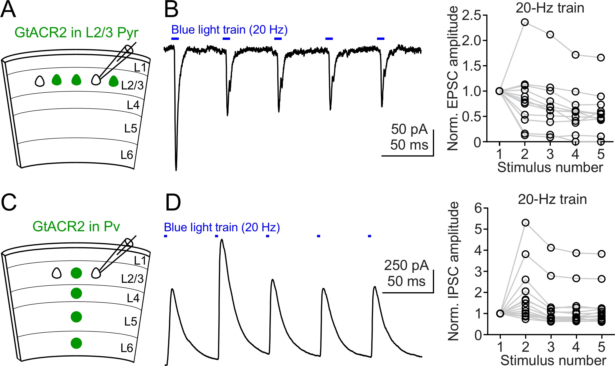 Targeting Light Gated Chloride Channels To Neuronal Somatodendritic 1796 Cj7 Fuse Box Diagram Neurotransmitter Release Induced By Repetitive Activation Of Gtacr2