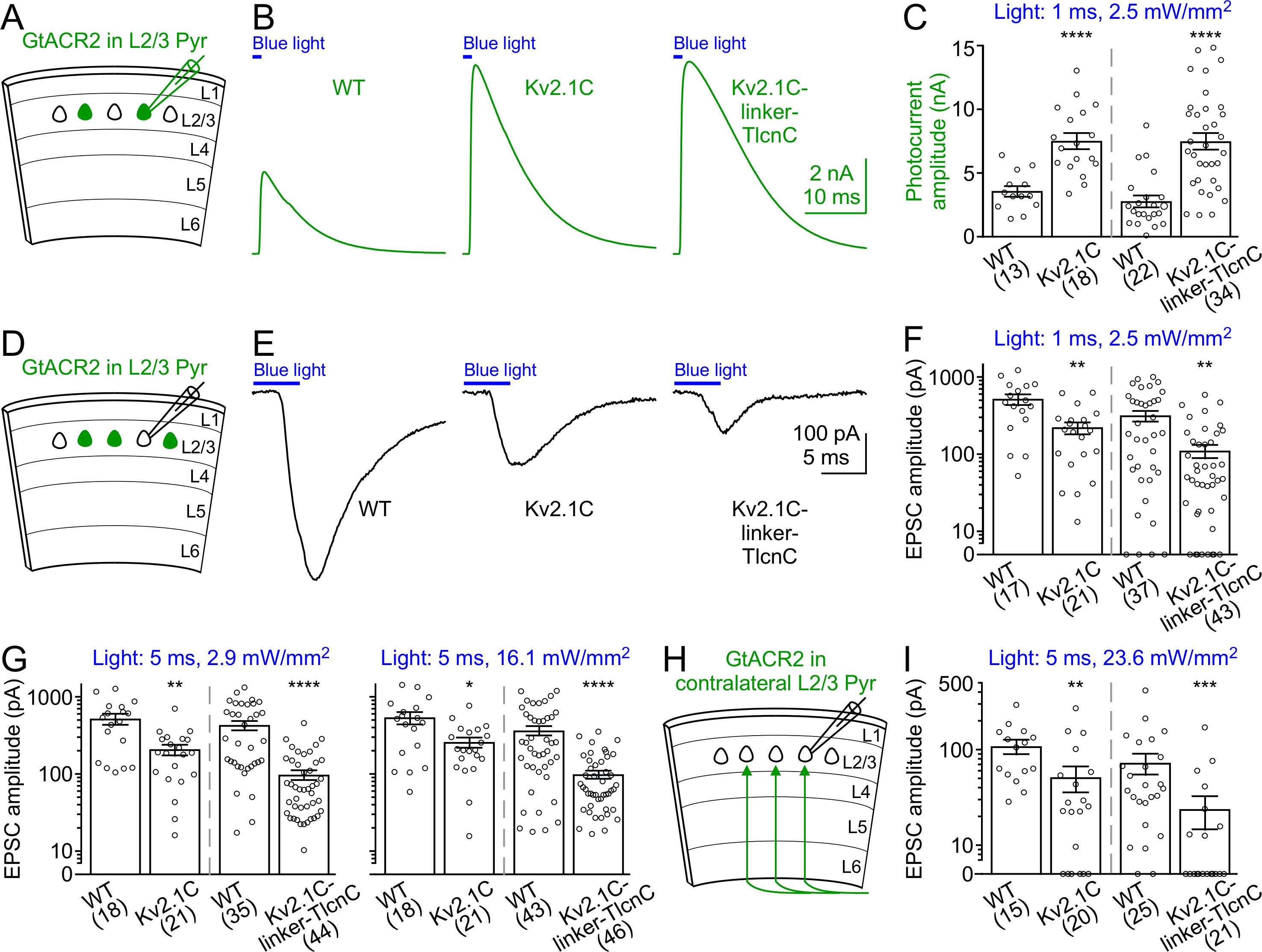 Targeting Light Gated Chloride Channels To Neuronal Somatodendritic 1796 Cj7 Fuse Box Diagram Activation Of Somatodendritically Targeted Gtacr2 Variants Generates Larger Photocurrents But Causes Less Neurotransmitter Release Than Wild Type